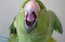Ваш попугай это может: как научить птицу говорить и реально ли сделать это за 1 день?