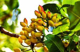 Настоящее «Дерево жизни»: полезные свойства фисташек и их противопоказания