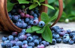 Голубика: полезные свойства и противопоказания, где растет и как используется