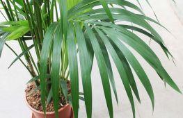 Домашняя пальма: как правильно осуществить грамотный уход за растением в домашних условиях