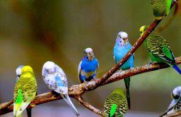 Волнистые попугаи: что оказывает влияние на продолжительность их жизни