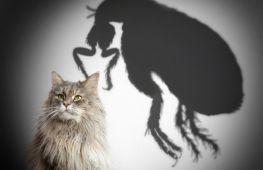 Кошачьи блохи кусают людей: как с этим бороться