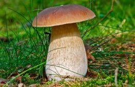 Белый гриб: лесной король