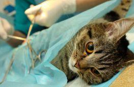 Стерилизация кошки, все за и против