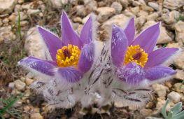 Сон-трава – лекарственное растение и нежный цветок с древней историей