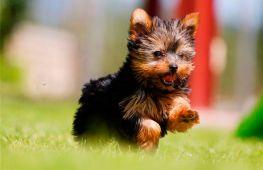 Как правильно выбрать щенка йорка: советы заводчиков