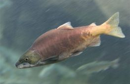 Как отличить самку горбуши от самца, чтобы выбрать рыбу с икрой