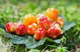 Морошка: полезные свойства царской ягоды