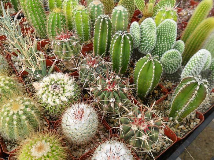 Народные приметы говорят о том, что кактус может уравновесить характер владельца