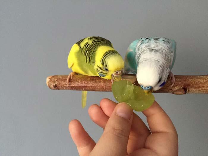 Помните, что для птицы важно сбалансированное питание и чистый воздух