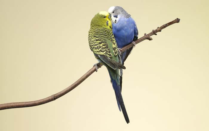 Дольше живут и лучше себя чувствуют попугайчики, которые живут парой
