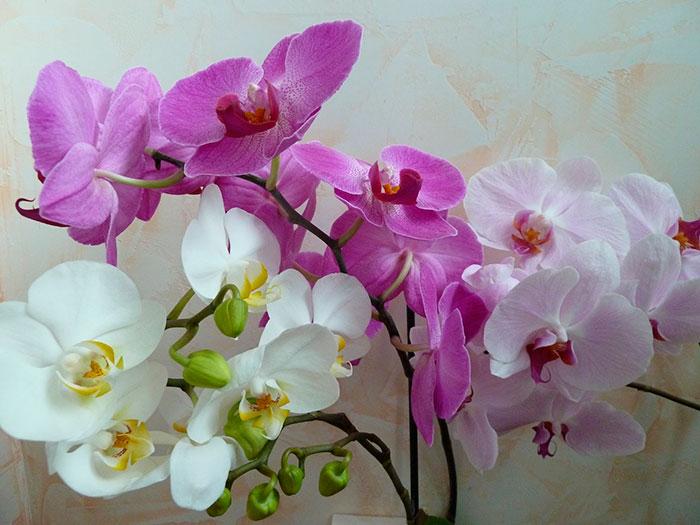 Орхидею, купленную в горшке, не обязательно сразу пересаживать