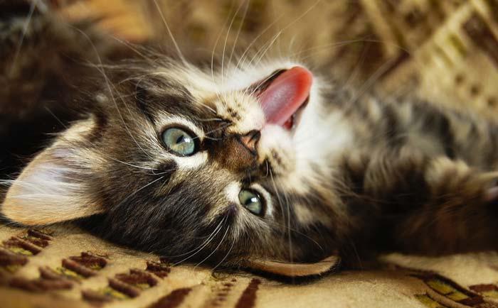 Слишком молодую кошку стерилизовать нельзя, есть риск нарушения в развитии