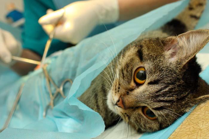 Все, что нужно знать о стерилизации кошек