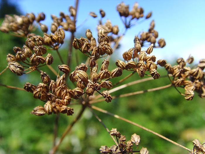 Семена болиголова