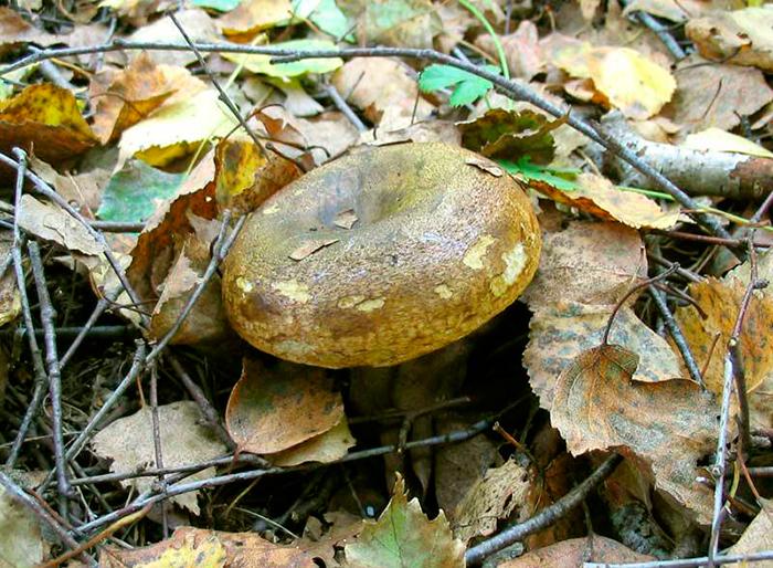 Сезон сбора грибов - август-сентябрь