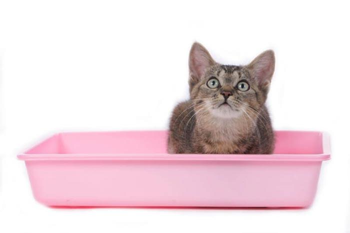 Приучайте котенка к лотку с первых недель жизни