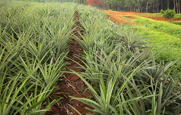 Плантация ананасов