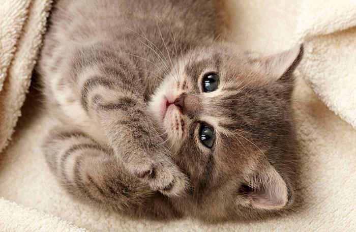 Обычно котята открывают глаза на 7-12 день после рождения