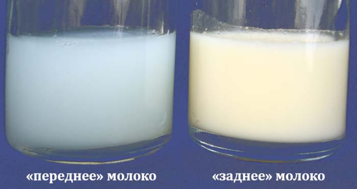 """Переднее"" и ""заднее"" молоко"