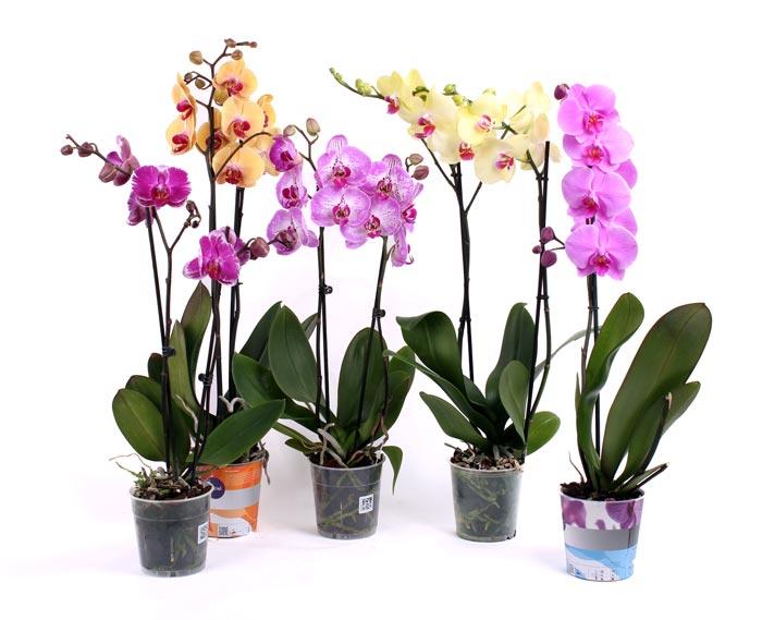 Новичку следует выбирать те сорта орхидей, за которыми легко ухаживать дома
