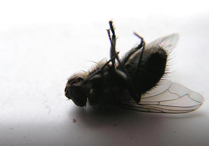 Народные средства борьбы с мухами безопасны для домашних животных и человека
