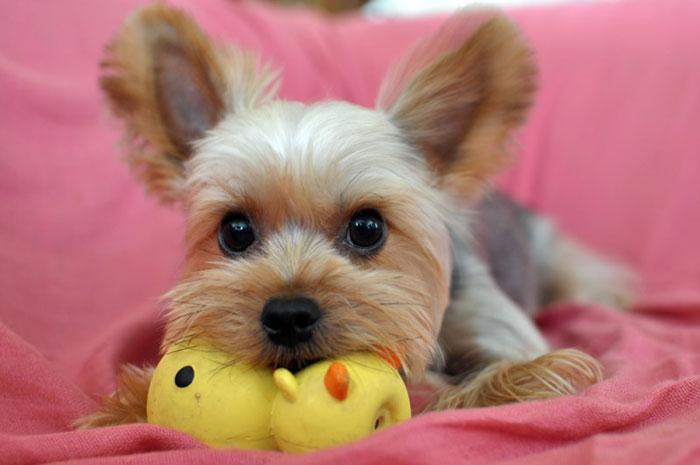 Приобретать щенка необходимо в возрасте более трех месяцев