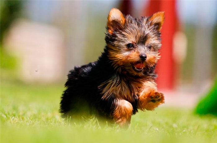 Как выбрать щенка йорка
