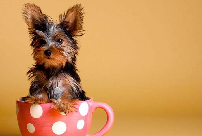 Уши у щенка йорка обязательно должны стоять
