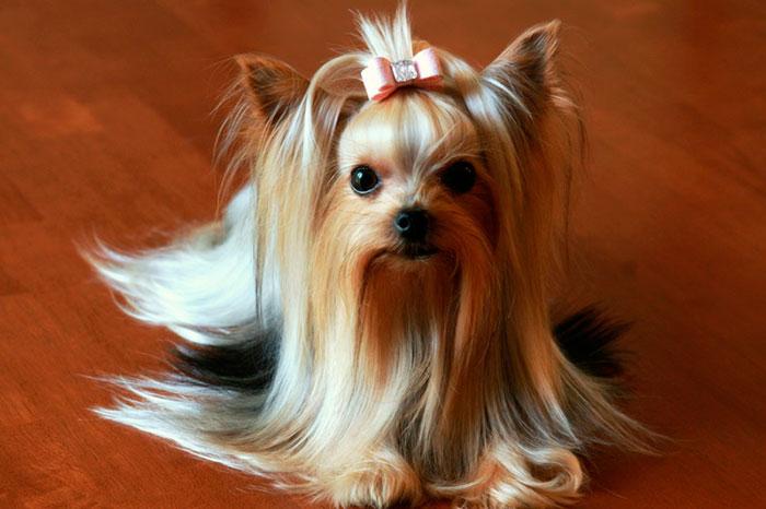 Приобретать щенка йорка лучше в специализированном питомнике
