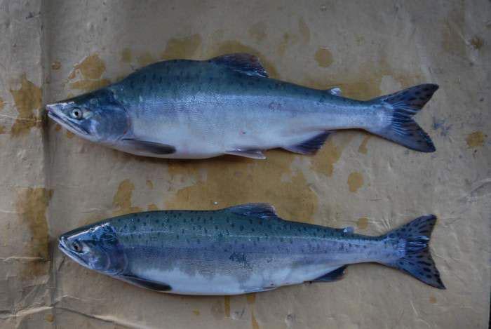 Есть ли икра в рыбе можно точно узнать, если известно время лова