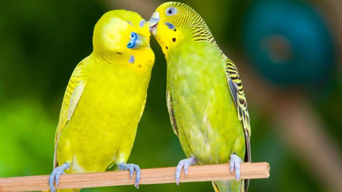 Понаблюдайте: поведение самца и самки попугая будет отличаться