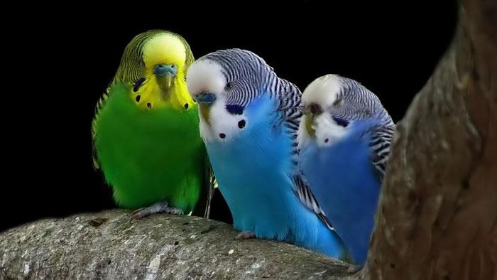 """Наиболее """"разговорчивыми"""" считаются попугаи-мальчики зеленого цвета"""