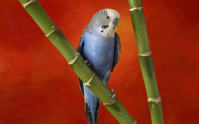Пол молодых птиц легко определить по цвету восковицы
