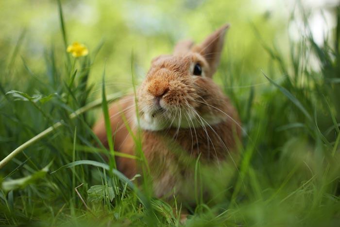 Не допускайте попадания вредной травы в рацион кроликов