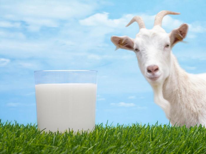 Козье молоко полезнее для малыша, чем коровье