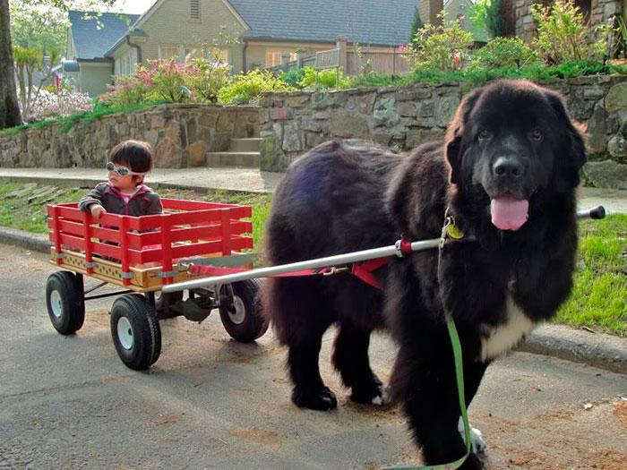 Ньюфаундленд - большая, но дружелюбная собака