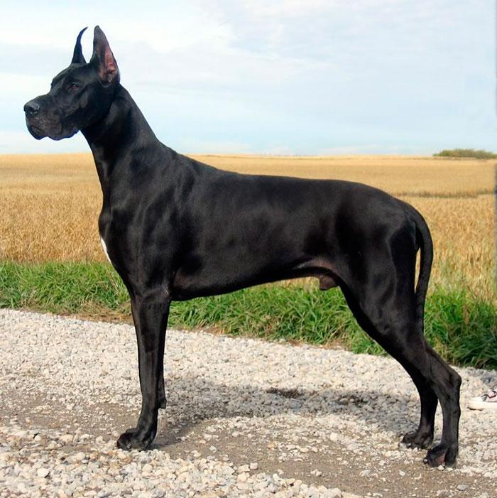 Немецкий дог - самая большая и сильная собака в мире
