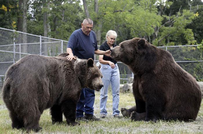 Кадьяк - самый крупный бурый медведь