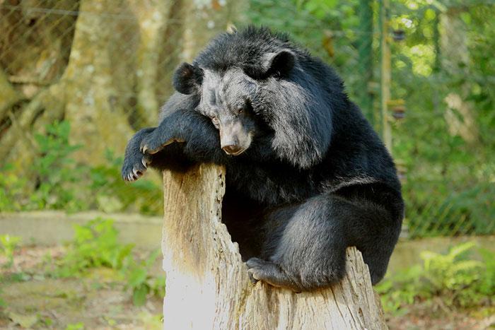 Гималайский медведь достигает 100-130 килограмм веса