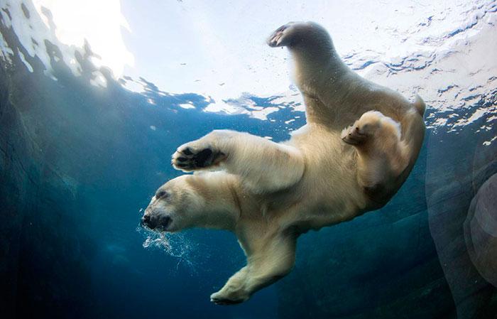 Белый медведь - самый крупный из всех медведей