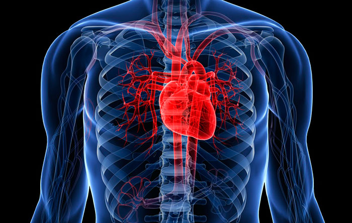 Сердце у человека находится не совсем слева, как принято полагать