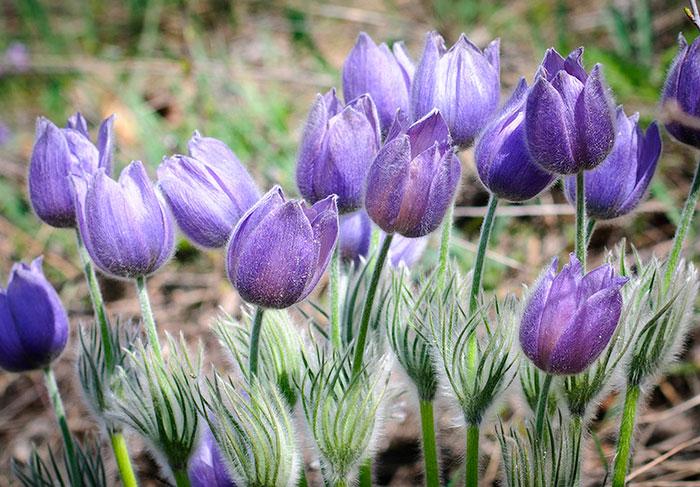 Сон-трава ядовитое растение, поэтому применять его необходимо дозированно