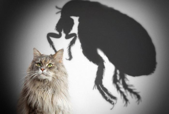 Кошачьи блохи кусают людей как избавиться народными средствами