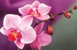 Как правильно пересадить орхидею в домашних условиях