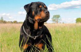 Самые большие и сильные собаки в мире: топ 10 пород с фотографиями