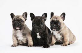 Как выбрать щенка французского бульдога: советы заводчиков