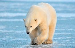 Все о медведях: виды и среда обитания, самый большой медведь