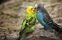 Как отличить самца волнистого попугая от самки и выбрать здоровую говорящую особь